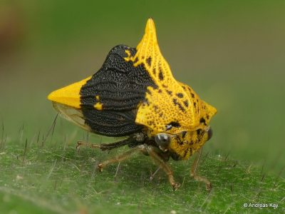 Image of yellow and black treehopper Ennya chrysura